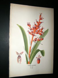 Step 1897 Antique Botanical Print. Aechmea Fulgens